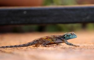 Blue headed Agama by MaresaSinclair