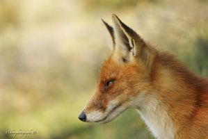 Fox portrait by dehaasphotography