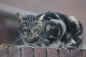 Brown Tabby 3 by lucky128stocks