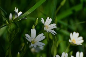 Beautiful wild white flowers by Breezypants