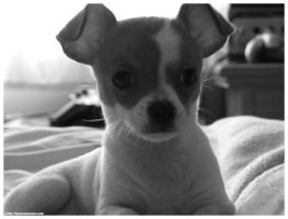 Chihuahua by bjward