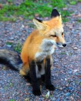 Young Red Fox by JordanCYork