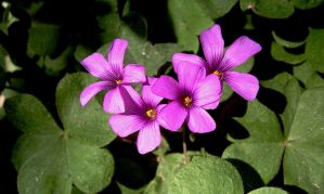 Violet woodsorrel by fearnone