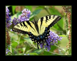Eastern Tiger Swallowtail II by David-A-Wagner