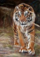 sumatran tiger by Eline-portraits