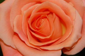 A Rose of a Different Color by Guard-of-the-Citadel