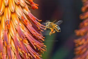 Honey Bee at Aloe by ribbonworm