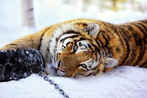 Tiger vs Tire III by Sagittor