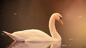 Swan II by KrisSimon