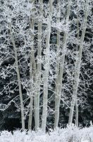 Frosted Aspens by AlexMody