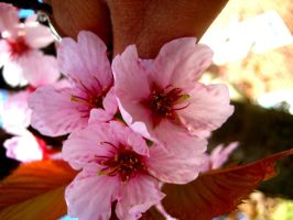 cherry blossom by mihi2008