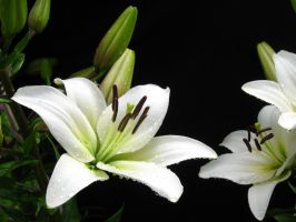 White Lily, Water Drops II by Foxytocin