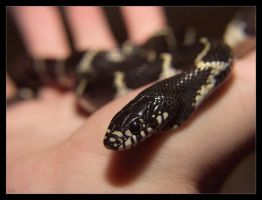king snake by knold