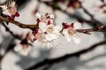 Cherry-Tree :) by Mavrakis-Portraits