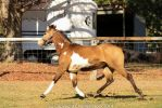VR Pinto trot side view by Chunga-Stock