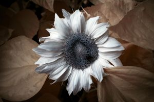 Albino Sunflower by vw1956