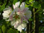 BunniePrower's Apple Blossoms by bluedragoneye