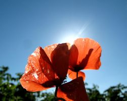 Poppies in the sun by ItSurroundsMe