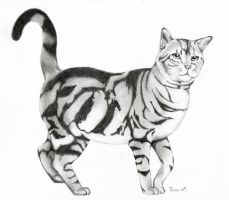 American shorthair by Adniv