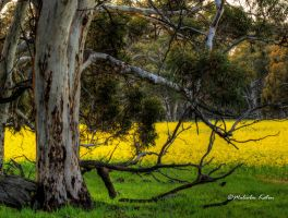 Canola and Gums by FireflyPhotosAust