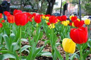 bed of tulips by laszlo-616
