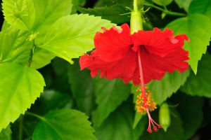 Hibiscus by NB-PhotoArt
