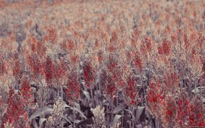red field by tienod