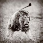 Lion...in a square format by 00Tiger00