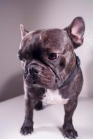 French Bulldog by speckone
