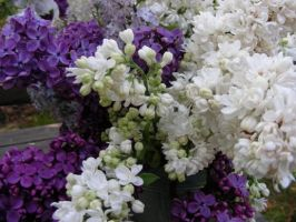 Lilac Beauties by Mishall