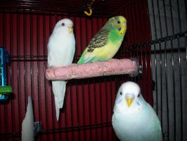 Parakeets by TwitchyTail