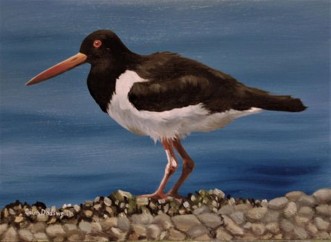 An Oystercatcher by huckerback6