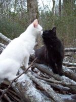 Kissing Snow Cats -Stock by Rainny-Stock