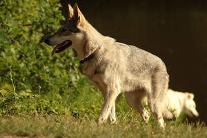 Wolfdog stock 10 by Bundy-Stock