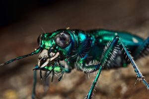 Six-Spotted Tiger Beetle I by lord-creeper