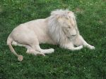 White lion I by Yanomiestock