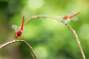 red dragonfly by dianapple