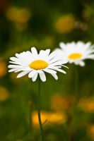 daisys by nvrclr