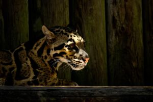 Clouded Leopard by King-Dolphin