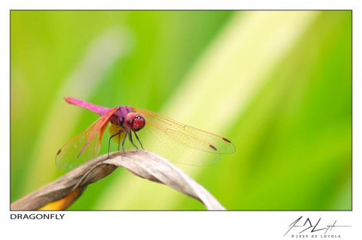 Dragonfly by eugenedeloyola