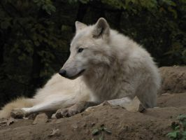 North American Arctic Wolf 51 by animalphotos