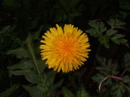 Ring-Flash test dandelion 1 by TERABBS