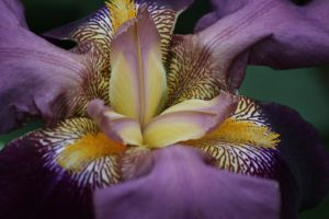 Dark-Purple Iris by Toderico