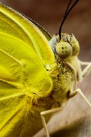 Lemon Butterfly by farazkhwaja