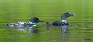 Loon Family by Les-Piccolo