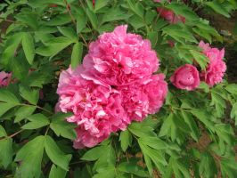 Luoyang Peony Festival:King Of Flowers by Minasitirith