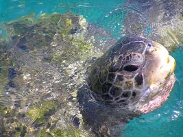 Turtle Caribbean by Jenvanw
