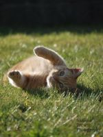 Ginger Cat by CantRainAllTheTime-1