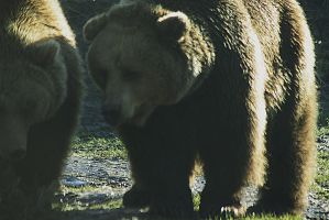 big brown bears by marob0501