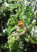 Butterfly 0876 by VioletRosePetals